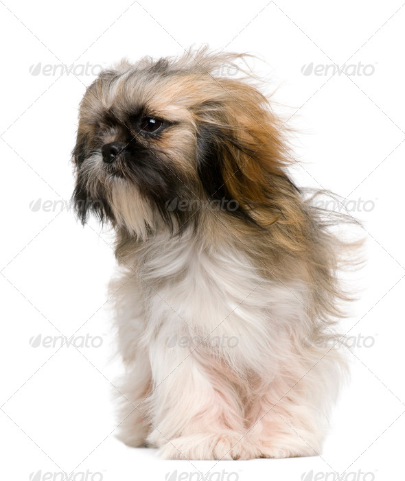 Shih Tzu, 1 year old, with windblown hair in front of white background - Stock Photo - Images