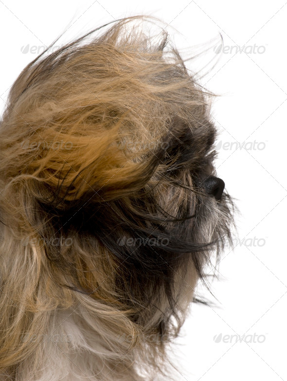 Close up of Shih Tzu, 1 year old, sitting against white background - Stock Photo - Images