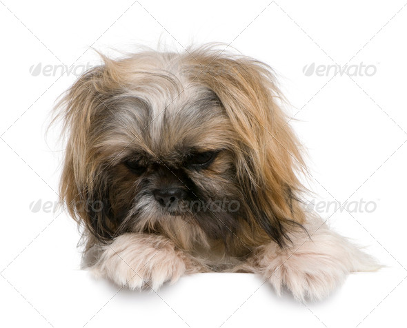 Shih Tzu, 1 year old, sitting against white background - Stock Photo - Images