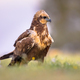Marsh harrier female - PhotoDune Item for Sale
