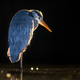 Silhouette of Grey heron hunting at night - PhotoDune Item for Sale