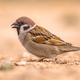 Tree sparrow foraging - PhotoDune Item for Sale