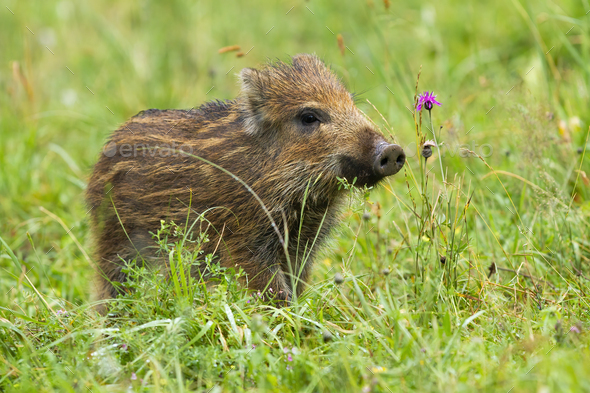 Beautiful wild boar piglet sniffing with a snout on meadow in spring - Stock Photo - Images