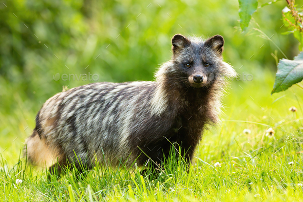 Horizontal composition of wild raccoon dog, nyctereutes procyonoides, in summer - Stock Photo - Images
