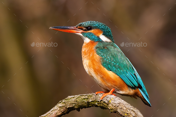 Lovely common kingfisher female sitting on a twig from profile at sunrise - Stock Photo - Images