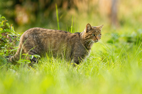 Focused european wildcat on a hunt looking for prey in summer - Stock Photo - Images