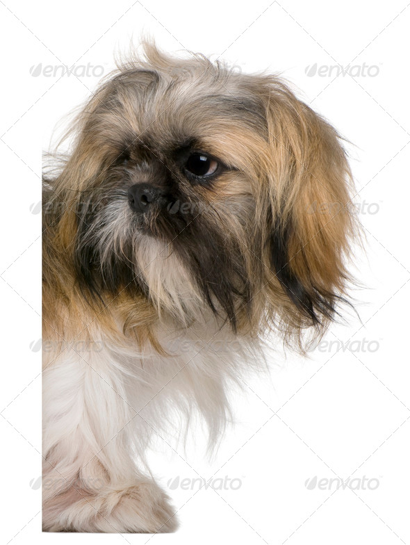 Shih Tzu, 3 years old, peering around white board against white background - Stock Photo - Images