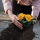 Planting beautiful yellow flower - PhotoDune Item for Sale