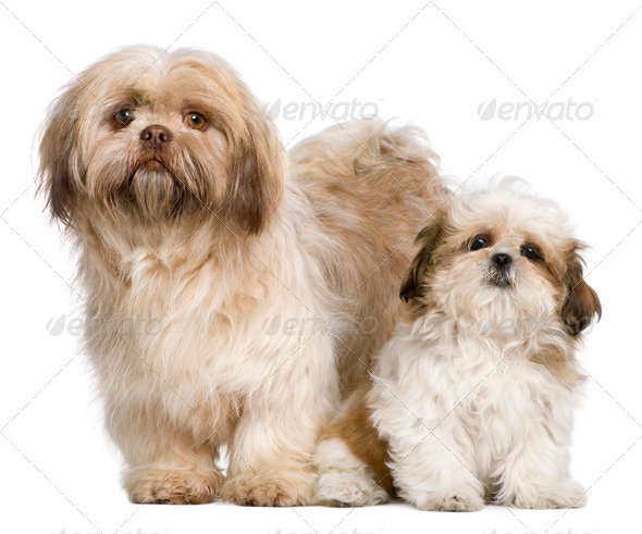 Mother Shih Tzu and her puppy, 3 years old and 3 months old, against white background - Stock Photo - Images