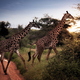 Two giraffes in the sunset - PhotoDune Item for Sale