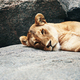 Lioness resting on the rock - PhotoDune Item for Sale