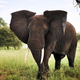 Shot of elephant in Africa - PhotoDune Item for Sale
