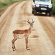 Young antelope standing on road - PhotoDune Item for Sale