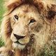 Close up of big lion in Africa - PhotoDune Item for Sale