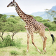 Shot of giraffe in Africa - PhotoDune Item for Sale