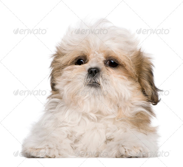 Shih Tzu puppy, 3 months old, lying in front of white background - Stock Photo - Images