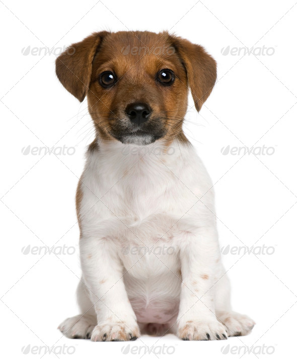 Jack Russell terrier puppy, 3 months old, sitting against white background - Stock Photo - Images