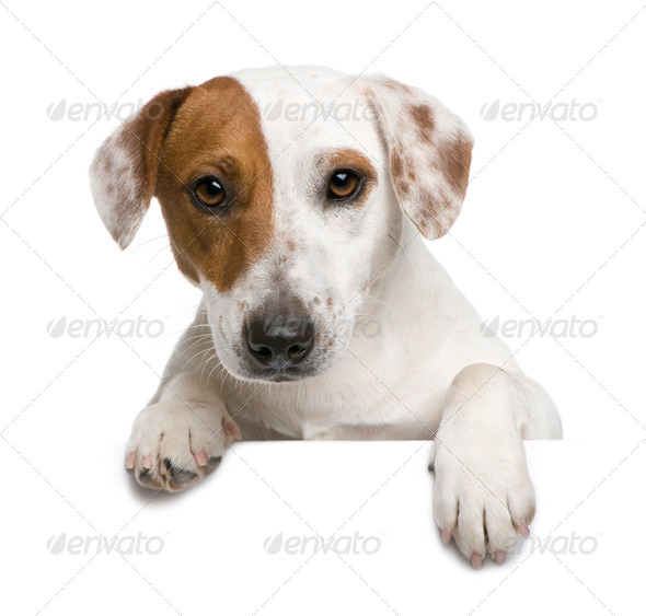 Jack Russell terrier, 1 year old, against white background - Stock Photo - Images
