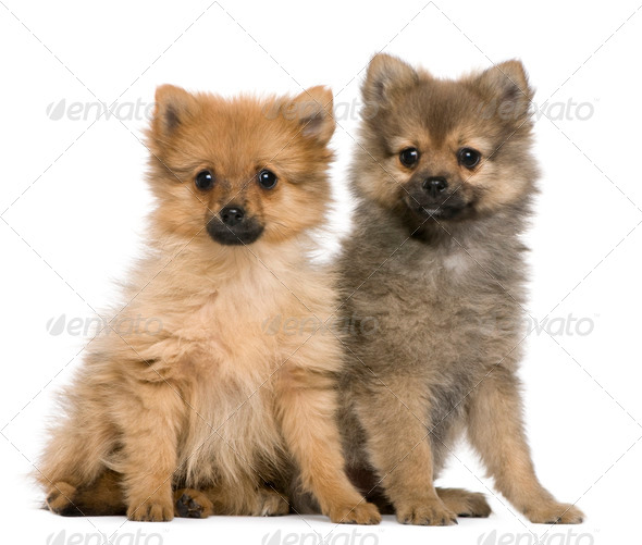 Spitz puppies, 3 months old, sitting against white background - Stock Photo - Images