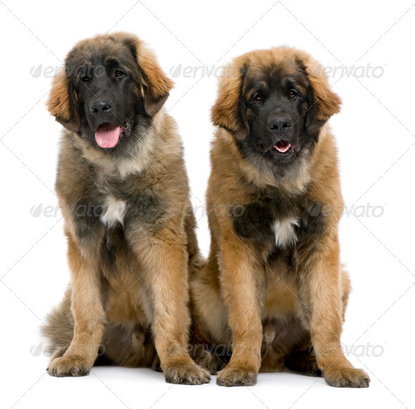 Leonbergers sitting side by side against white background - Stock Photo - Images