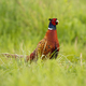 Attentive common pheasant, phasianus colchicus, feeding himself on the meadow - PhotoDune Item for Sale