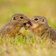Two european ground squirrel standing close together and kissing - PhotoDune Item for Sale