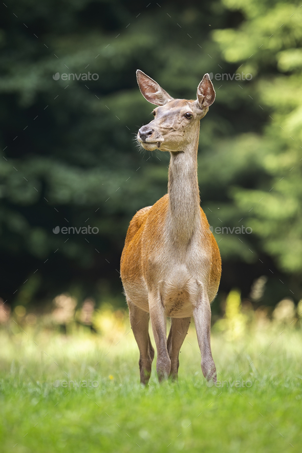 Shy red deer hind listening on a green meadow from front view - Stock Photo - Images