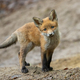 Lovely red fox standing on brown ground in front of den hidden in forest - PhotoDune Item for Sale