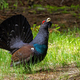 Beautiful western capercaillie lekking on the sunny forest clearing - PhotoDune Item for Sale