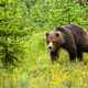 Cute young bear walking in natural habitat of forest clearing - PhotoDune Item for Sale