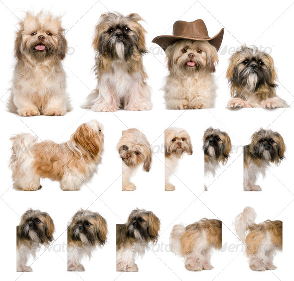 Group montage of shih Tzu, 3 years old, against white background - Stock Photo - Images