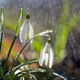 Close first spring flowers snowdrops with rain - PhotoDune Item for Sale