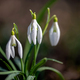 Closeup of small white delicate snowdrops in spring - PhotoDune Item for Sale
