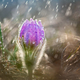 Beautiful spring Pulsatilla patens in the spring rain - PhotoDune Item for Sale
