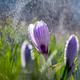 Beautiful spring crocus in the spring rain. Saffron in the garden on the lawn - PhotoDune Item for Sale