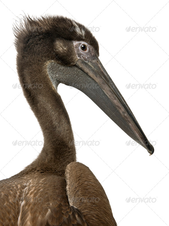 Close-up headshot of young pink-backed pelican, 2 months old, standing in front of white background - Stock Photo - Images