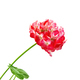 Geranium red and white leaves - PhotoDune Item for Sale