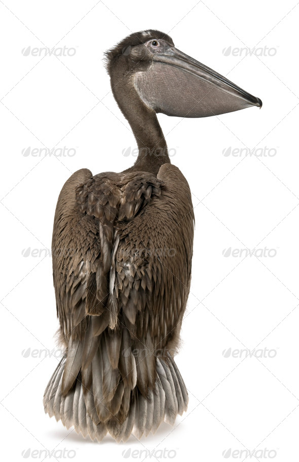 Young pink-backed pelican, 2 months old, standing in front of white background - Stock Photo - Images
