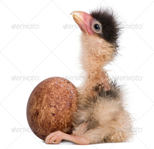 Southern Caracaras, 12 hours old, chick sitting with egg in front of white background - Stock Photo - Images