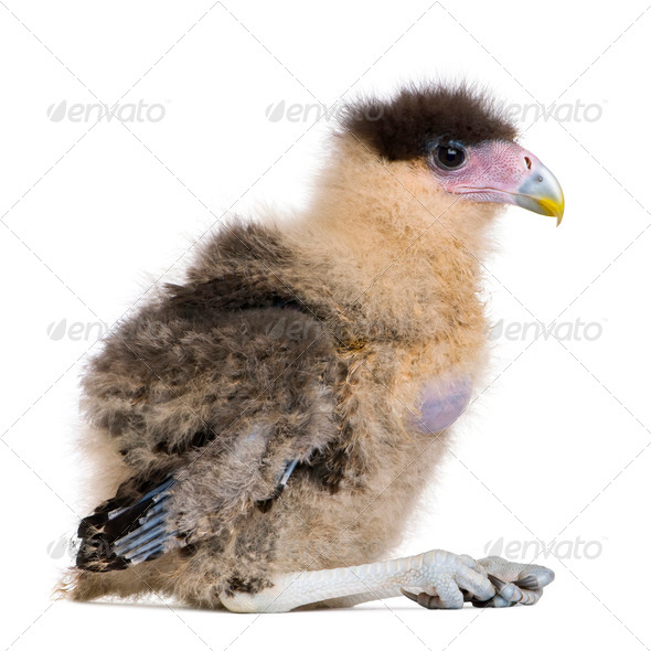 Southern Caracaras, 20 days old, in front of white background - Stock Photo - Images