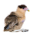 Southern Caracaras, 20 days old, in front of white background