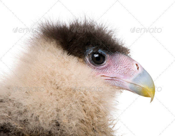 Caracaras, 20 days old, caracara plancus, in front of white background - Stock Photo - Images