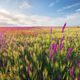 Spring violet flowers in wheat meadow. - PhotoDune Item for Sale
