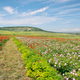 Spring meadow of poppy and rose. - PhotoDune Item for Sale