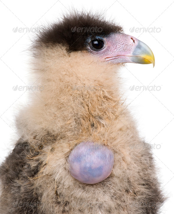 Southern Caracaras, 20 days old, with egg against white background - Stock Photo - Images