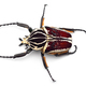 The African Goliath Beetles isolated on white background - PhotoDune Item for Sale