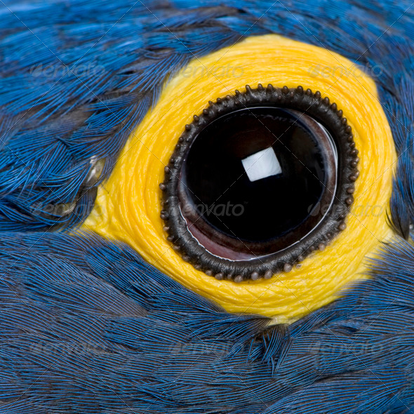 Hyacinth Macaw, 1 year old, close up on eye - Stock Photo - Images