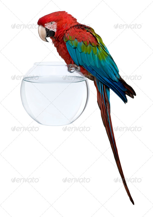 Red-and-green Macaw perching on empty fish bowl in front of white background - Stock Photo - Images