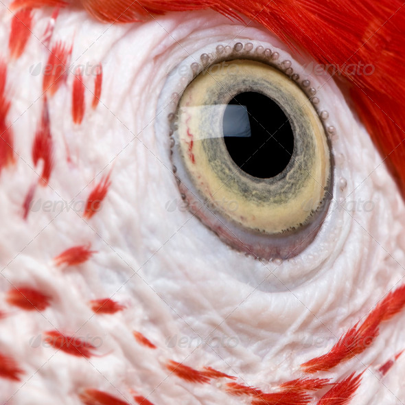 Red-and-green Macaw, close up on eye - Stock Photo - Images
