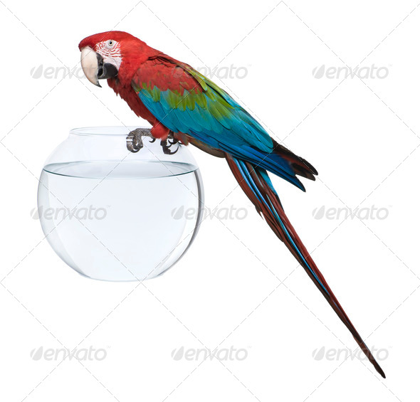Red-and-green Macaw, Ara chloropterus, standing on fish bowl in front of white background - Stock Photo - Images
